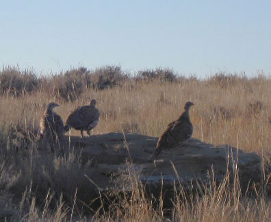 Sage Grouse, Wyoming