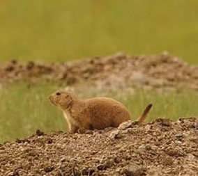 Prairie Dog, Wyoming
